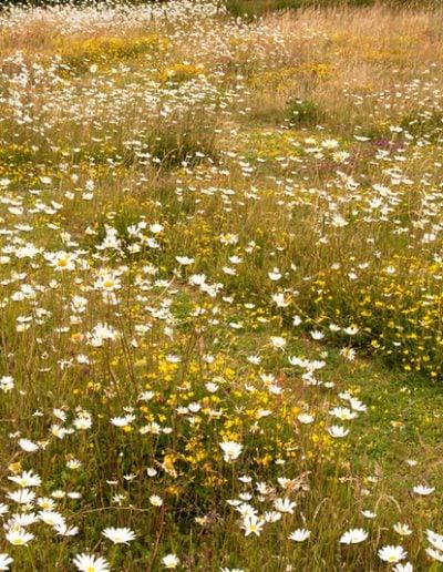 meadow_wildflowermeadow
