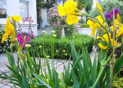 yellow-flag-iris